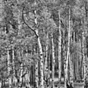 A Stand Of Aspen Trees In Black And White Art Print