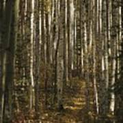 A Stand Of Birch Trees Show Art Print