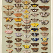 A Study Of Moths Characteristic Of Indo Art Print