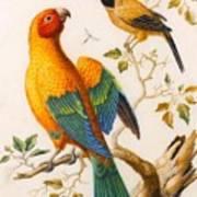 A Sun Conure Parrot  Art Print