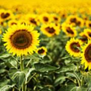 A Sunflower Plantation In Summer In South Dakota Art Print