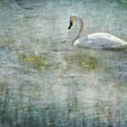 A Swan's Reverie Art Print