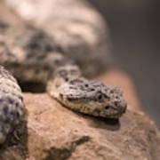 A Tiger Rattlesnake At The Henry Doorly Art Print