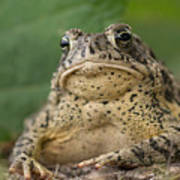 A Toad Appears To Be Frowning He Sits Art Print