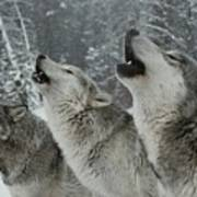 A Trio Of Gray Wolves, Canis Lupus Art Print by Jim And Jamie Dutcher