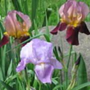 A Trios Of Irises Art Print