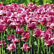 A Tulip Arrangement Art Print