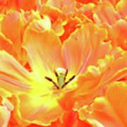 A Tulip Fully Open Art Print