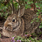 A Very Fine Bunny Resting Under The Lilac Bush Art Print