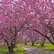 A Walk Down Cherry Blossom Lane Art Print