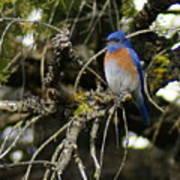A Western Bluebird In A Tree Art Print