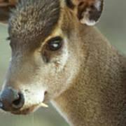 A Western Tufted Deer Elaphodus Art Print