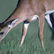 A White-tail Deer Munches On Some Green Art Print