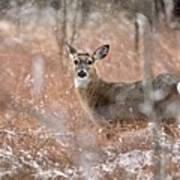 A White-tailed Deer In The Snow Art Print
