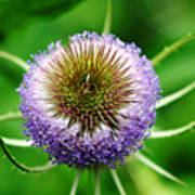 A Wild And Prickly Teasel Art Print