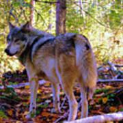 A Wolf Gazes Back Art Print