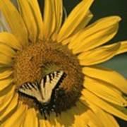 A Yellow Swallowtail Art Print