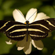 A Zebra-winged Butterfly At The Lincoln Print by Joel Sartore