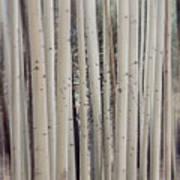 Abstract Aspen Tree Trunks Art Print