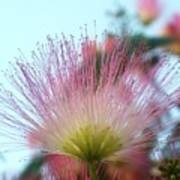 Acacia Bloom Art Print
