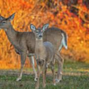 Acadia Deer Art Print