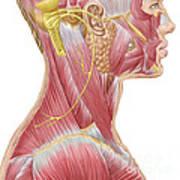 Accessory Nerve View Showing Neck Art Print