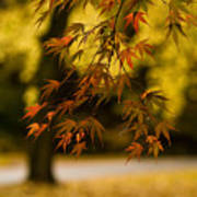 Acers Turning Art Print
