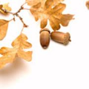 Acorns And Oak Leaves Art Print by Utah Images