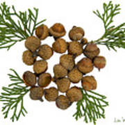 Acorns With Cedar Art Print