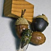 Acrons And Cicada Art Print