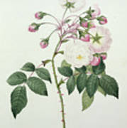 Adelia Aurelianensis Print by Pierre Joseph Redoute