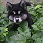 Adorable Alusky Puppy Hiding In A Garden Art Print