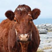 Adorable Brown Cow Standing On The Burren Art Print