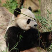 Adorable Giant Panda Bear Eating Bamboo Shoots Art Print