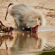 Adult Baboon And Baby Together On The Waterfront  Art Print