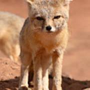 Adult Kit Fox Ears And All Art Print