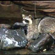 Adult Raccoon Hunting Art Print
