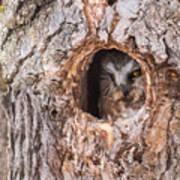 Adult Saw-whet Owl Art Print