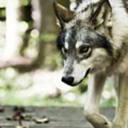 Aero Wolf 1 Art Print