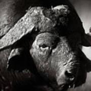 African Buffalo Bull Close-up Art Print