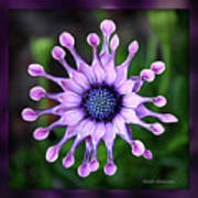 African Daisy - Hdr Art Print