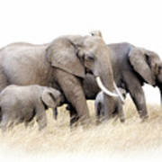 African Elephant Group Isolated Art Print