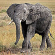 African Elephant Happy And Free Art Print