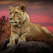 African Female Lion In The Grass At Sunset Art Print