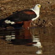 African Fish Eagle Art Print