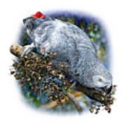 African Grey Parrot A1 Art Print