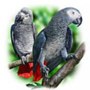 African Grey Parrots A Art Print