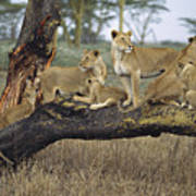 African Lion Panthera Leo Family Art Print