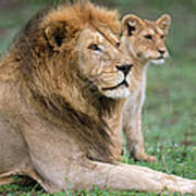African Lion Panthera Leo With Its Cub Art Print