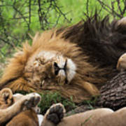 African Lion Sleeping In Serengeti Art Print